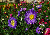 China aster, garden aster