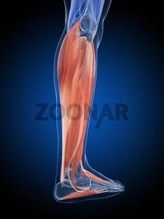 3d rendered illustration - leg muscles