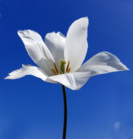 Tulipa Clearwater, Tulpenbluete