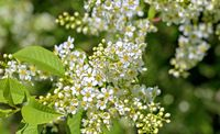 blossoms of a white spirea