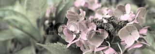 Hortensien Blumen Garten Panorama