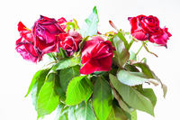 bouquet of withered red roses on pale background
