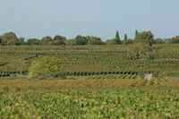 Grapes in the vineyard in the south of France in the Provence