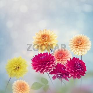 Dahlia Flowers Bloom in The Garden