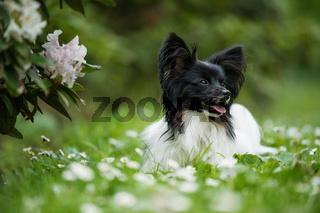 Cute papillon dog in a spring meadow