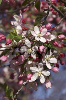 Close-up image of Japanese flowering crabapple flowers
