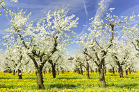 blooming apple trees at spring on field