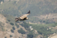 Griffon Vulture flying, Gyps fulvus