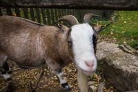 farm animal goat with curious face