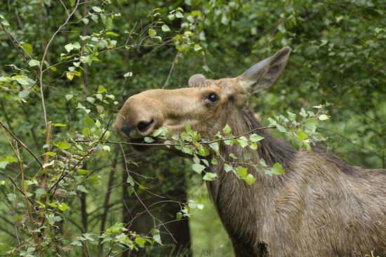 European Moose, Alces alces