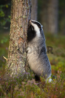 Interested european badger standing on rear legs by tree trunk and stretching upward while looking for food.