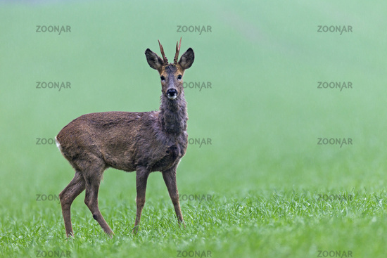 Roebuck during a rain shower on a meadow