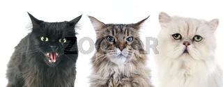 furious cats