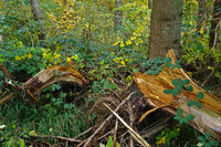 wood waste, windthrow, in the autumn forest
