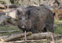 wild boar  'Sus scrofa'