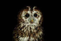 Tawny owl or brown owl (Strix aluco)
