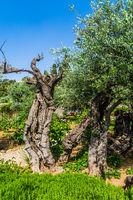 The ancient olives
