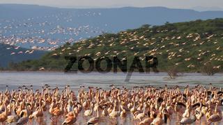 flamingos on the shoreline at lake bogoria in kenya