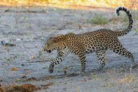 African leopard Chobe Botswana, Africa wildlife