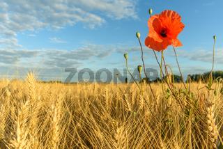 Poppies in wheat field in summertime in France.