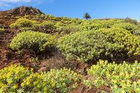 Landschaft auf La Gomera mit blühenden Wolfsmilchgewächsen