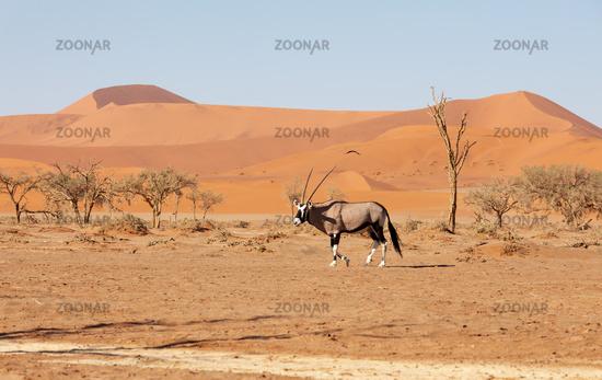 Gemsbok, Oryx gazella on dune, Namibia Wildlife