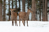 Two red deer hinds standing on snowy meadow in winter nature