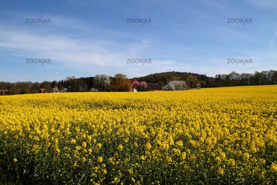 A rapeseed field in Hagen