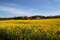 A rapeseed field in Hagen