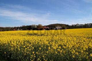 Ein Rapsfeld in Hagen