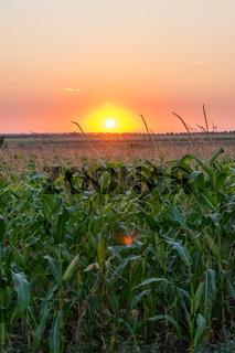 Beautiful green corn field at sunset. Corn field at sunset with beautiful sky. Organic Corn field at sunset
