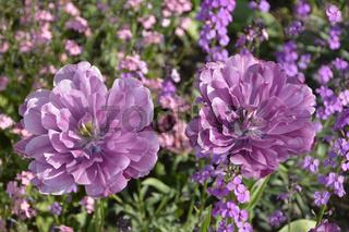 Gefuellte Tulpen