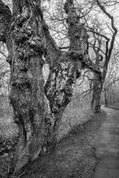 The old trees along the path