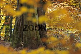 Alte Eiche Stamm im Herbst