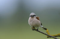 Maennlich Neuntoeter, Lanius collurio, Male Red-backed shrike