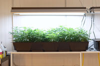 Hydroponic beds of cannabis seedlings. cultivation of marijuana.