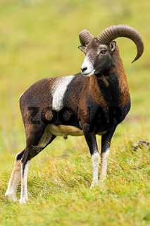 Calm mouflon ram standing on field in autumn nature.