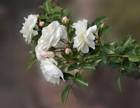 Rose branch with white gentle flowers and pink buds close up