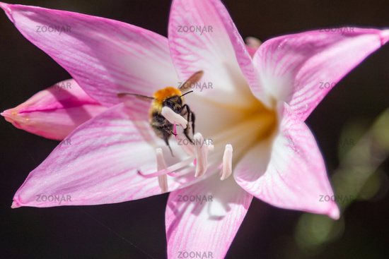 Bumblebee collects nectar in a purple Lily flower