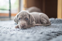 Puppy of weimaraner hound pointing dog laying on grey banket in house.