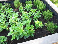 Basil and rosemary herbs in a raised garden bed made of wood