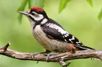 Juvenil great spotted woodpecker