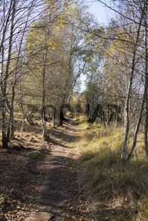 forest with bark trees in autumn