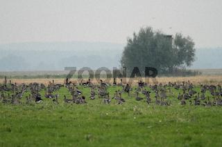 Gaense auf einem Acker im Havelland
