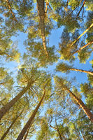 Crowns of pine trees overhead against the blue sky