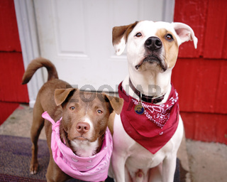 Two Dogs Sit by The Door Outside Looking at the Camera