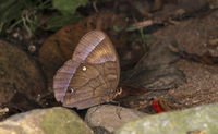 Jungle Glory Butterfly, Thaumantis diores, Garo hills, Meghalaya