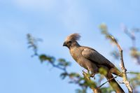 Grey Go-away-bird Namibia Africa wildlife