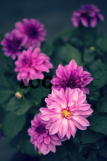 Blühende Dahlie (dahlia) im Garten, Hochformat