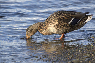Mallard female that feeds on the ocean at low tide